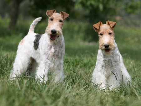 Fox Terrier de Pêlo Duro